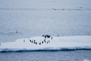 Pingviner i Antarctis