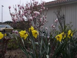 Praktmagnolia och påskliljor i vår egen trädgård