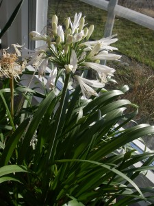 Afrikansk lilja