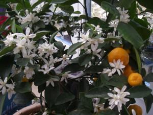 Apelsinträdet blommar i verandan