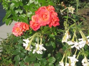 Rosor och tobaksblommor