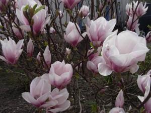 Magnolia i vår trädgård