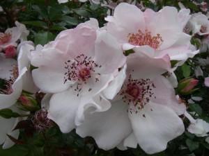 En bohuslänsk ros till Ullenhag