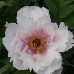 pion i vår trädgård