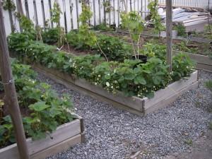 Jordgubbsplantor och vindruvsbuskar i vår trädgård