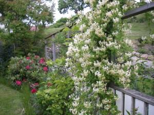 Kaprifol, vår landskapsblomma i vår trädgård