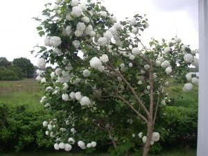 Snöbollsbuske i vår trädgård