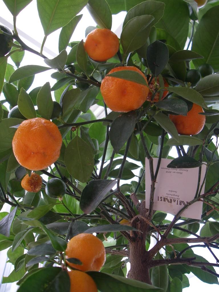 Apelsinträdet i vår veranda