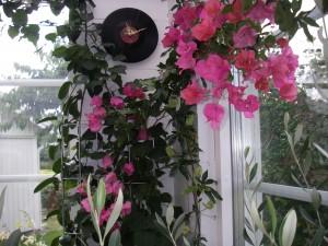 Myshörnan i vår veranda med blommande bouganvilla