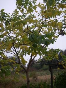 Valnötsträdet som växt upp sedan Göran grävde ned en nöt i jorden för några år sedan