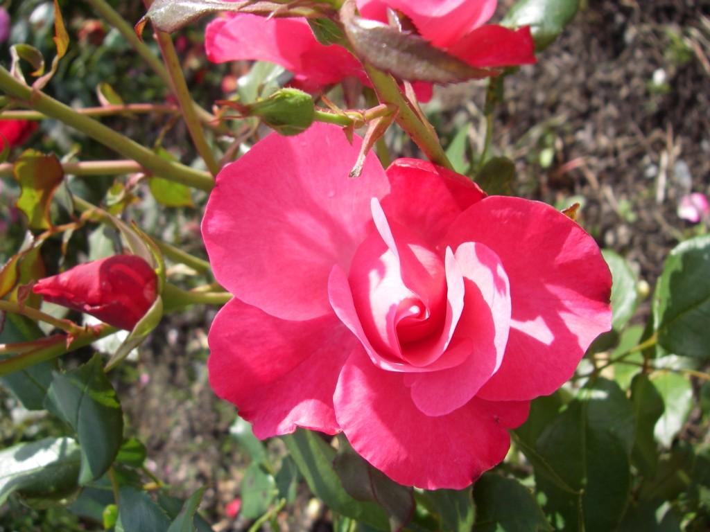 En ros till min pappa