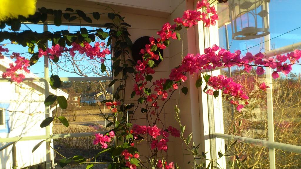 Bougainvillean i vår veranda