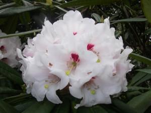 Rododendron i Botaniska