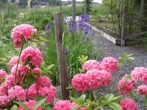 Azalea och riddarsporre i vår trädgård