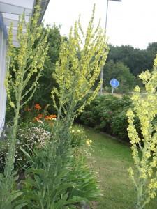 Kungsljusen i vår trädgård