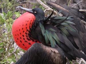 Fregattfågelhanne som blåst upp sig för att fånga en hona