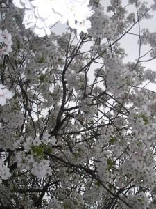 Körsbärsträdet i vår trädgård
