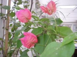 Bougainvillean blommor i uterummet