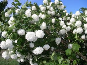 Snöbollsbusken i full blom
