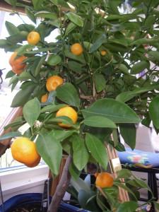 Apelsinerna har klarat vintern bra i verandan