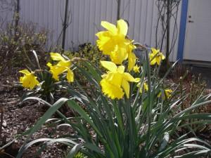 Påskliljor i vår trädgård