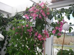 Bougainvillean blommar för fullt i verandan