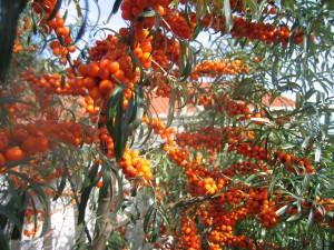Havtornsbuske i vår trädgård