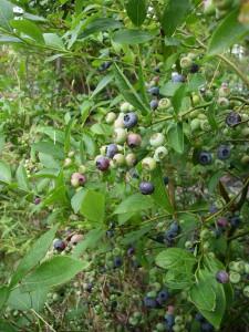 Amerikanska blåbär i vår trädgård