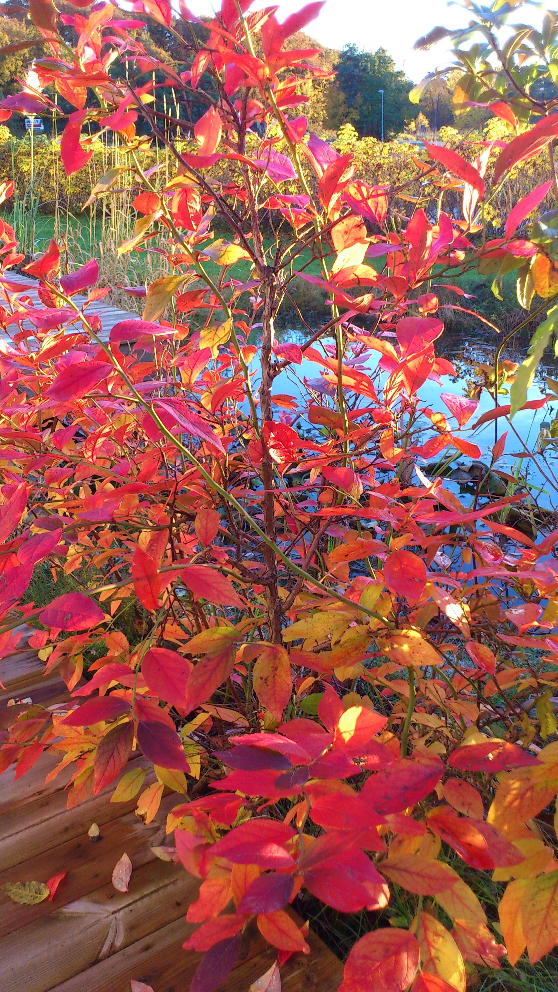 Amerikanska blåbär i vår trädgård förra hösten