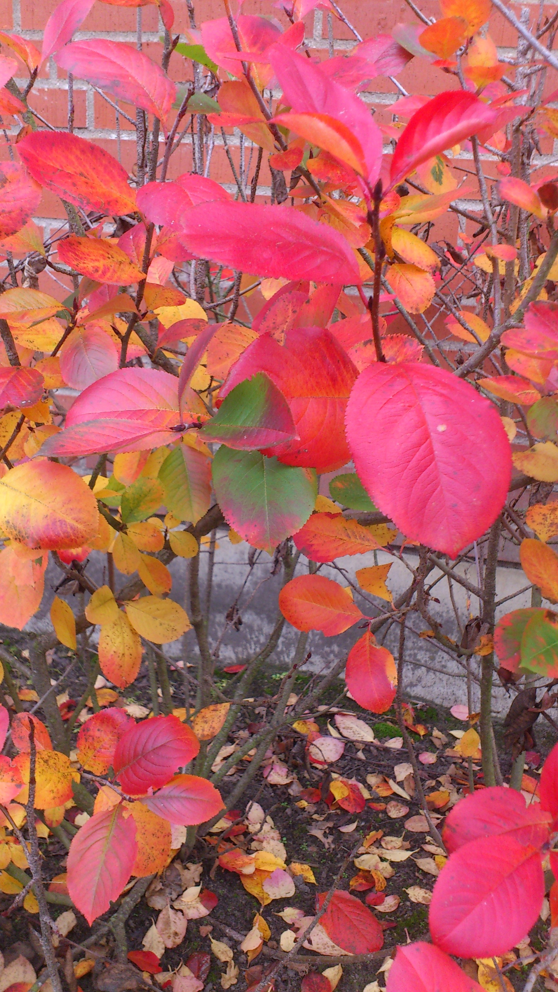 Den amerikanska blåbärsbusken i vår trädgård